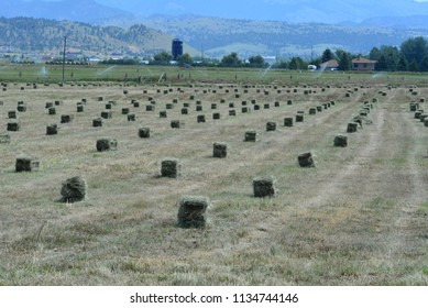 Freshly baled alfalfa hay sets in field awaiting stacking.