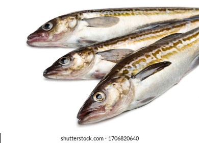 Freshly caught alaska pollock fish isolated on white background