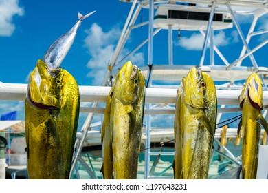 Freshly caught Atlantic dolphin fish at a marina in the Florida Keys.