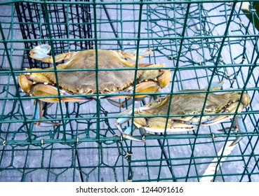 freshly caught blue crabs in a crab trap cage container on a dock