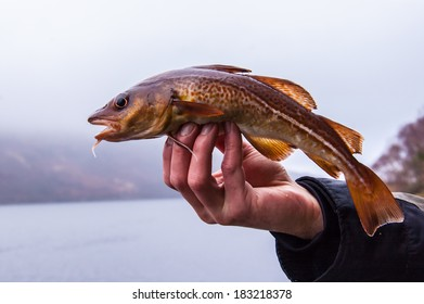 Freshly caught cod on angler's hand with Scottish loch in the background