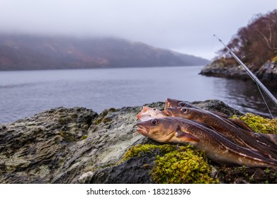 Freshly caught cods on a rock with fishing rod and Scottish loch in the background
