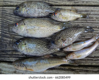 Freshly caught fish on a wooden deck.
