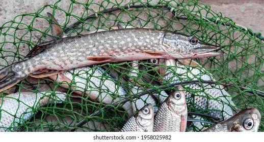 Freshly caught fish pike and river fish in the net Camping, organic food