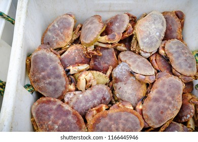 Freshly caught live crabs, landed in Newlyn Harbour. Cornwall, England.