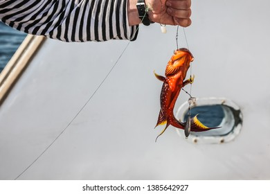 Freshly caught red coral grouper in the hands of a fisherman on the pleasure yacht on the Red Sea. Close-up of red coral grouper in the hands of a fisherman.