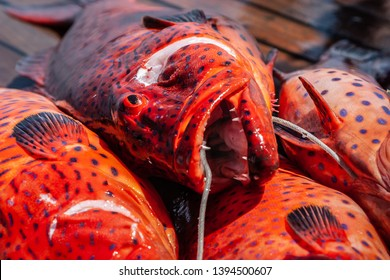 Freshly caught red coral grouper on the deck of a pleasure yacht on the Red Sea.