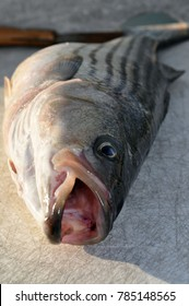 A freshly caught Rockfish with an eye and mouth wide open.