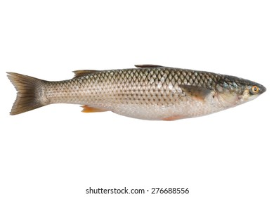 Freshly caught sea fish Mullet or Haarder, isolated on white