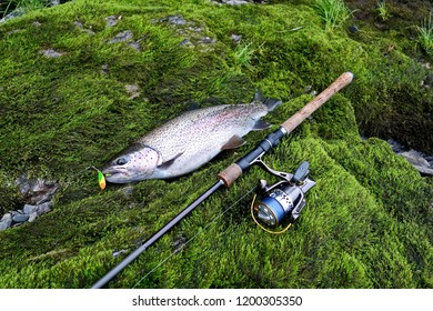 Freshly caught trout on spinning. Fishing on the fast taiga river. The catch of a fisherman.