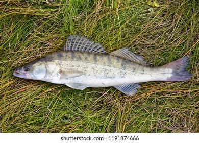 Freshly caught wild fish zander ordinary lies on the river sedge.Beautiful and powerful river predator
