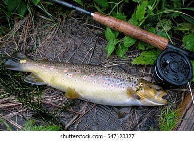 Freshly caught wild trout, which has been caught by fly fishing. Fish is on a wooden board. Beautiful color.