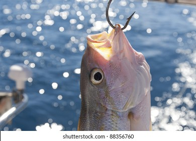 Freshly caught Yellowtail Snapper (Ocyurus chrysurus) hangs from a fishing hook on a boat in the Caribbean.