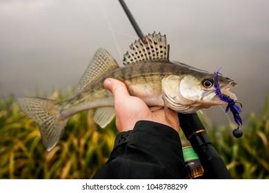 Freshly caught zander. Catch fisherman. Fisherman caught zander.Zander in hand.