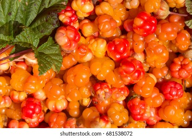 Freshly collected, ripe cloudberry, Rubus chamaemorus, a species of wild berry native to northern bogs