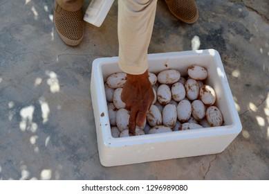 A freshly crocodile eggs at a crocodile farm.