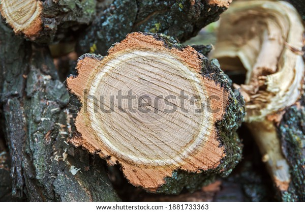 freshly-cut-tree-stump-acacia-600w-18817