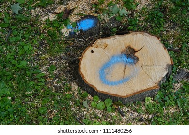 Freshly cut tree stump marked for grinding