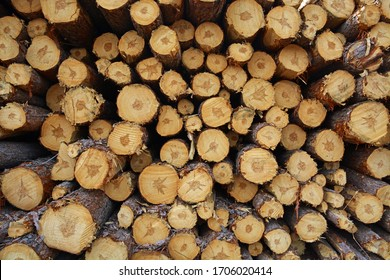 Freshly cut trees stacked in a pile in Northern Minnesota during the spring.