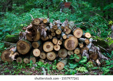 Freshly cut wood in forest
