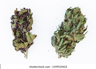 freshly dried marijuana buds, from two different tipes of plants