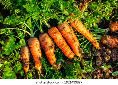 Freshly dug carrots from the vegetable field