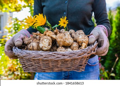 Freshly dug Jerusalem artichoke tubers kept in a basket.