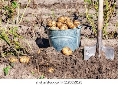 Freshly dug organic potatoes and shovel in the soil at the vegetable garden