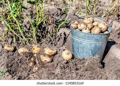 Freshly dug organic potatoes at the vegetable garden in sunny day