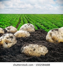 freshly dug potatoes harvesting on the soil on a background of field