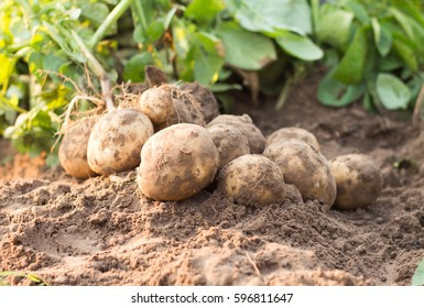 Freshly dug potatoes on a field.