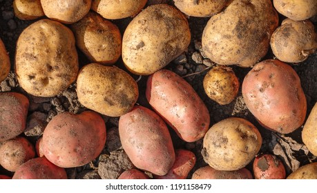 Freshly dug potatoes of two varieties
