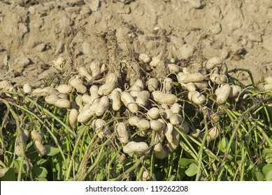 Freshly dug, or turned, peanuts cling to the roots of their plants as they dry in the sun.