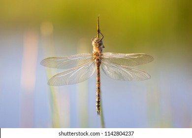 Freshly emerged Aeshna dragonfly next to a natural pond