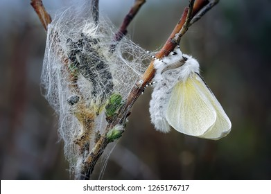 A freshly emerged male White Satin Moth hangs upside down to dry his wings amongst fresh pupae on dwarf willow at Ainsdale local nature reserve on the sefton coast.