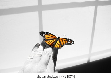 Freshly emerged Monarch butterfly.  Includes clipping path/mask for both butterfly and hand
