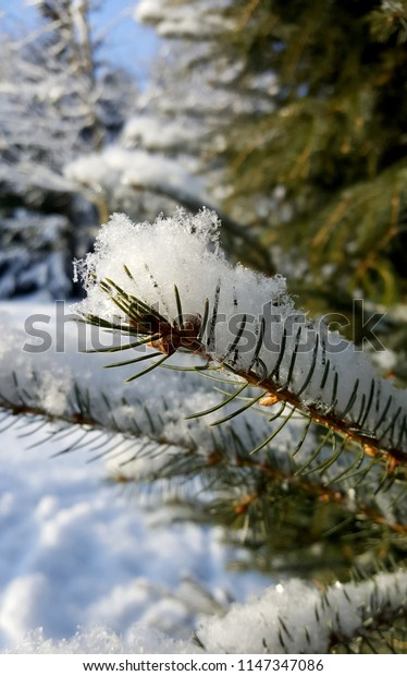Freshly fallen snow on blue spruce branches Close Up