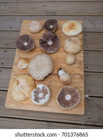 Freshly Foraged Wild Field Mushrooms (Agaricus campestris) and Common Puffball (Lycoperdon perlatum) on a Wooden Board in Rural Devon, England, UK
