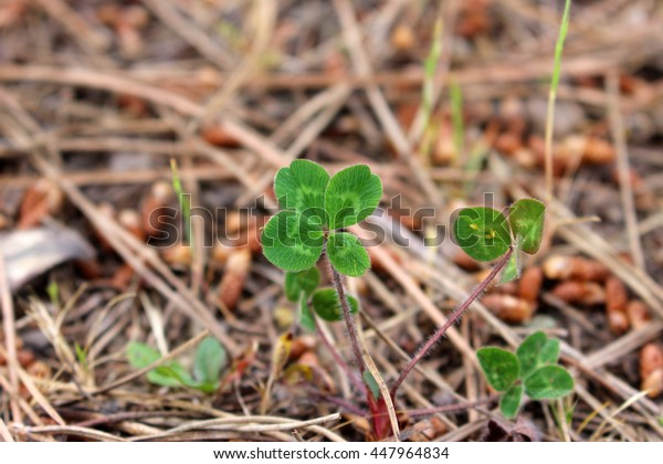 Freshly green lucky clover arrangement growing naturally between pine needles in South of France, daylight, blurred background