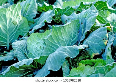 freshly growing cabbage field from the farm