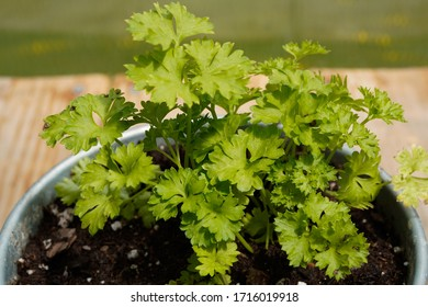 Freshly growing Parsley. Organic herb.