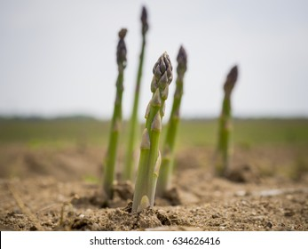 Freshly grown plants of green asparagus in the field