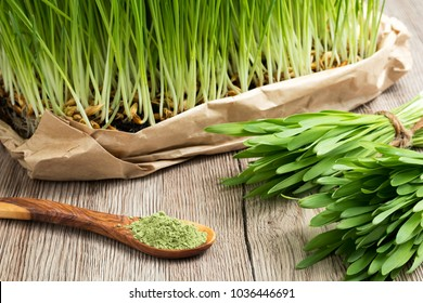 Freshly grown young barley grass with green barley grass powder on a spoon