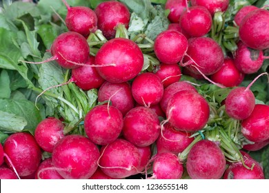Freshly harvest red purple colourful radish.Growing radish vegetable background.Fresh red organic radishes with green leaves from the garden for sale at local farmers market or Gourmet supermarket.