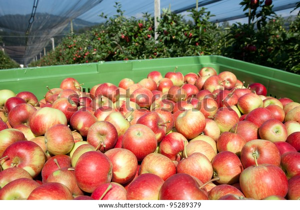 Freshly harvested Apples, Apple Trees in the Background