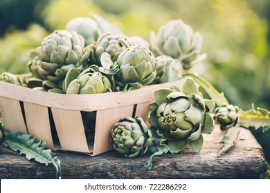 Freshly harvested artichokes in a garden, Vegetables for a healthy diet.