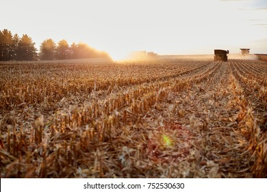 Freshly harvested backlit maize field stubble at sunset with sun flare from the fiery sun and farm vehicles on the horizon harvesting the crop