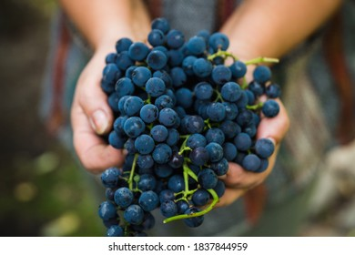 Freshly harvested bunch of ripe black grape in farmers hands. Autumn harvest. Selective focus. Shallow depth of field.