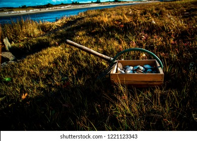 A freshly harvested bushel of Maine clams along with a clam rake sit on the banks of the Ogunquit River in Fall.  Fresh clams are a very rustic popular delicacy for seafood enthusiasts.