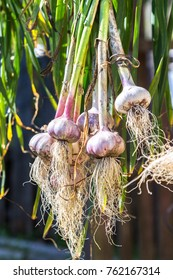 Freshly harvested garlic bulbs drying at the outdoors close up. Harvest at agricultural production business